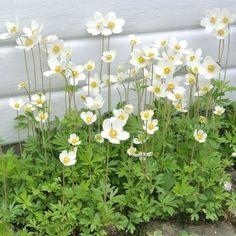 Anemone sylvestris blommar i maj-juni och blir cirka 30 cm hög. Moon Garden, Dream Garden, Outdoor Plants, Outdoor Gardens, Shade Garden, Garden Plants, Beautiful Gardens, Beautiful Flowers, White Gardens