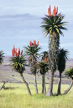 Multimedia for South Africa: aloe plants in Eastern Cape Province. Explore the updated online encyclopedia from Encyclopaedia Britannica with hundreds of thousands of articles, biographies, videos, images, and Web sites. Agaves, Unusual Plants, Rare Plants, Exotic Plants, Cactus Planta, Cactus Y Suculentas, Cacti And Succulents, Planting Succulents, Trees And Shrubs