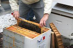 Abeilles : une première récolte de miel au service du ministère de l'Ecologie !