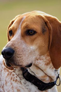 American English Coonhound Dog Breed Information Friendly Dog Breeds, English Coonhound, Unique Dog Breeds, Akc Breeds, Dog Quotes Funny, Dog Facts, Purebred Dogs, American English, Family Dogs