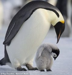 Antarctica, Snow Hill Island, Emperor Penguin (Aptenodytes forsteri) with young chick standing on frozen sea ice on sunny afternoon Cute Animals Images, Cute Baby Animals, Animal Pictures, Funny Animals, Nature Animals, Animals And Pets, Penguin Animals, Beautiful Birds, Animals Beautiful