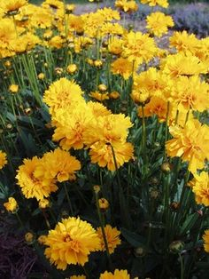 """Coreopsis Early Sunriseype:Perennials Height:Medium 20"""" (Plant 18"""" apart) Bloom Time:Early Summer to Mid-Fall  Sun-Shade:Full Sun  Zones:4-9   Find Your Zone Soil Condition:Normal, Sandy  Flower / Accent:Yellow / Yellow  Pot Size:3.5"""" square x 4"""" deep Winner of Gold medals in America and Europe. Superb in the border and heat tolerant. Golden yellow, semi-double flowers on 20"""" stems. Long blooming from early summer into fall.  - See more at…"""