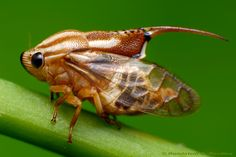 Machaerotidae Tube Spittlebug
