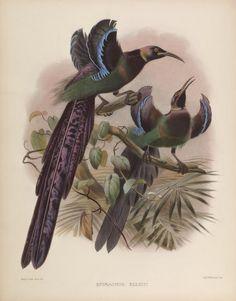 Biodiversity Heritage Library: Los visitantes del Paraíso: El Paradiseidae