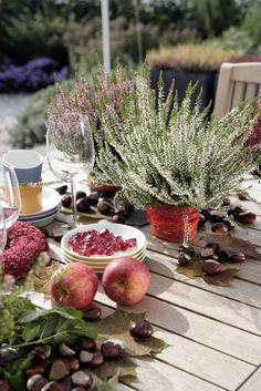 Autumn/ Heather (Calluna vulgaris) table decoration, apples, chesnuts.