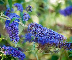 Buddleia - produces fragrant nectar - rich flowers all summer. Can grow in garden or container just make sure to put in sunny spot. Colors include white, red, purple, blue, yellow, pink & lavender. Zone 5 - 10