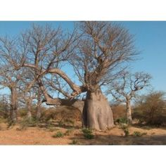 "Amazon.com: adansonia  digitata ""Baobab"" Tree seeds"