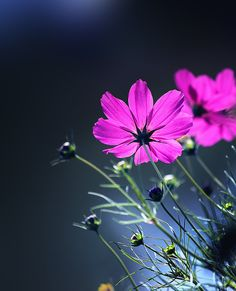 Cosmos. So easy to grow by seeds