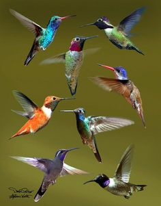 Hummingbird Collage Poster by David Salter. All posters are professionally printed, packaged, and shipped within 3 - 4 business days. Choose from multiple sizes and hundreds of frame and mat options. bird Hummingbird Collage Poster by David Salter Pretty Birds, Love Birds, Beautiful Birds, Animals Beautiful, Cute Animals, Sea Birds, Beautiful Scenery, Beautiful Pictures, Exotic Birds