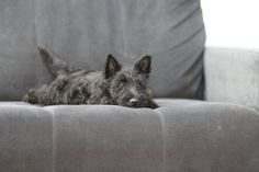 Fluffy Animals, Cute Baby Animals, Animals And Pets, Scottish Terrier Puppy, Cairn Terrier, Dog Quotes, Animal Quotes, Beautiful Dogs, Yorkie