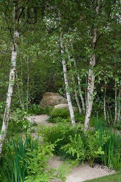 Harpur Garden Images Ltd :: 12mhch331 Gravel path through birch Betula glade underplanted with ferns boulder Design: Sarah Price The Telegraph Garden. Gold Award. RHS Chelsea Flower Show 2012 Marcus Harpur