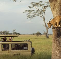 The African safari is the pride of the Africa - Each year many tourists, mostly from Europe, and from America and other places come for enjoying the Africa safari tour.
