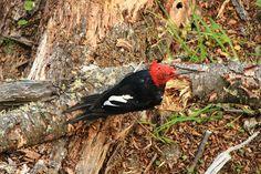 Aves patagonicas Patagonia, Bird, Animals, El Calafate, Birds, Animales, Animaux, Animal, Animais