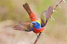 The colorful Painted Bunting :) Amazing World's photo. I Like Birds, Pretty Birds, Little Birds, Beautiful Birds, Bunting Bird, Painted Bunting, Buntings, Birds With Blue Feathers, Bird Feathers