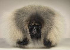 I don't think I could ever get my Pekingese to look like this... he always looked so much happier with short hair anyway :)