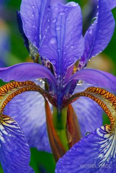 Iris tan gracioso!