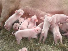 Feeding time at pond hill farm. This Little Piggy, Cute Little Baby, Little Pigs, Farm Animals, Cute Animals, Pig Farming, Mini Pigs, Baby Pigs, Cute Pigs