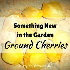Grow something unique in your garden this year, like ground cherries. | planning | seeds | funny | ITrytoGrowStuff