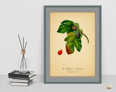 Botanical art print Vintage watercolour Figs poster picture antique home print wall old image wall print cubicle decor drawing vintage art Old Images, Botanical Wall Art, Poster Pictures, Cubicle, Figs, Wall Prints, Vintage Art, Watercolour, Antiques