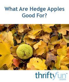 Pest Control Measures For Effective Flea Prevention Hedge Apples, Mock Orange, Edible Wild Plants, Pest Control Services, Green Fruit, Orange Recipes, Pet Health, Hedges, Fleas