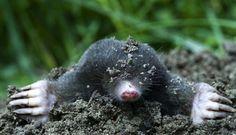 Atunci când apare primul indiciu la nivelul solului despre apariția unei cârtițe în zona, cu siguranță ne gândim la Metode de combatere a cârtiței.