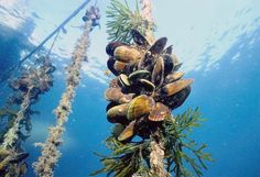 Mussels are the most nutritious shellfish, containing tons of vitamins and as much iron & folic acid as red meat. Tree Rope, Green Lipped Mussel, Aquaponics, Nature, Plants, Mystery, Fishing, Folic Acid, Natural Products