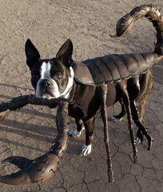 Scorpion Echo the Boston Terrier