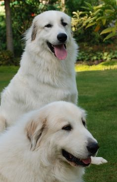 Beautiful Great Pyrenees dogs