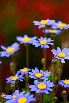 felicia daisy