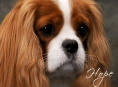 King Charles Cavalier. So want one!