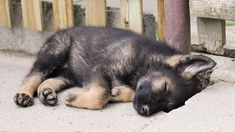 German Shepherd Puppies That Will Melt Your Heart