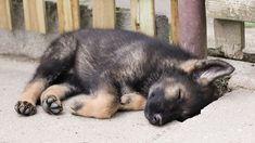 German Shepherd Puppies That Will Melt Your Heart