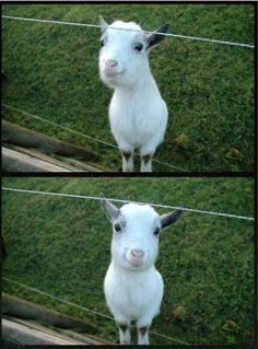 This happy goat is making me feel so good about everything