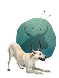 Horóscopo Canino Tauro #Revista #SeBuscaPerroExtraordinario