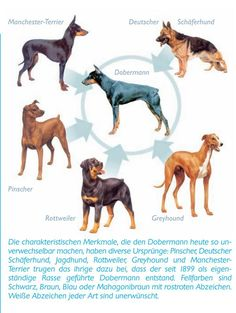 The breeds used to design the Doberman. The goal was to create a quick alert and sharp dog. To protect Mr Dobermann while he was collecting taxes.