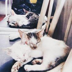 Meus lindos bebês #cat #gatos #filhotinhos #filhoteslindos #littlecats #kit #kat #snowball #tiger by nannycardoso_ http://www.australiaunwrapped.com/