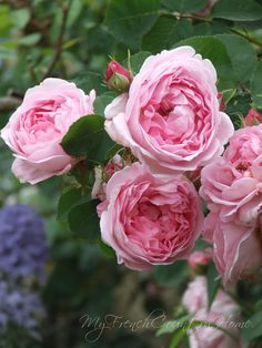 Love these roses, Normandy,  My French Country Home,