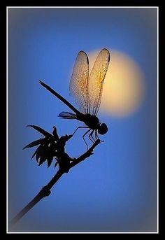 Dragonfly And The Moon by Waldek  Lidka, via Flickr