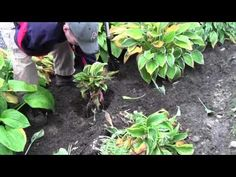 how to divide hostas (good to know if I can ever get mine big enough!)