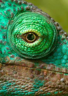 ¿Como vería si fuera... un camaleón?   Los dos ojos de este reptil cuentan con movimientos independientes entre sí, pudiéndose mover 180° en eje horizontal y 90° en eje vertical. Así los camaleones pueden cubrir un espacio visual de casi 360° sin mover la cabeza, su único punto ciego es la parte dorsal que se encuentra por detrás de su cabeza. La independencia de cada uno de los ojos permite al celebro recibir dos imágenes distintas que una vez procesadas se convierten en un amplio campo…