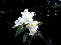 Cordia boissieri (Mexican olive) privacy tree