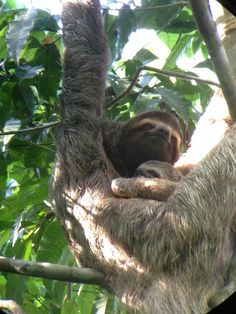 Lazy #Sunday, feeling like this sloth in Corcovado National Park, #CostaRica