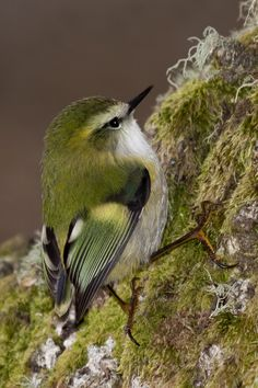 https://flic.kr/p/afDh2J   Male Rifleman   Male Rifleman (titipounamu, Acanthisitta chloris).  Endemic bird & New Zealand's smallest bird. (Please feel free to share this image on Facebook, but no other usage without written permission. Thanks.)
