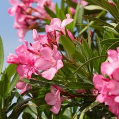 Oleander planting and care for a beautiful flowering Amaryllis, Garden Online, Pampas Grass, Plantation, Fall Flowers, Christmas Wreaths, Beautiful, Dupont, Gardening