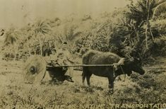 A local Guamanian man and children ride a cart pulled by a carabao in 1945 on Guam | The Digital Collections of the National WWII Museum : Oral Histories
