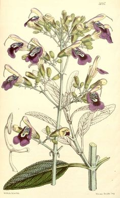 candelabrum, Lustre Sage - high resolution image from old book. Salvia, Botanical Drawings, Botanical Illustration, Botanical Flowers, Botanical Prints, Arte Naturalista, Herbal Image, Medicinal Herbs, Natural Essential Oils