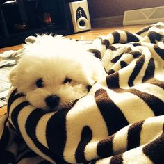 Top 5 Smartest Dogs you should know Bichon Frise! http://aguidetowhatsinsideyourbeautybag.blogspot.com/