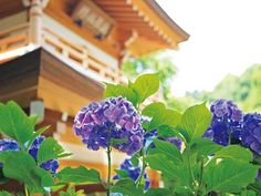 June of Japan, rainy season, the beginning of Summer with Hydrangea(紫陽花)