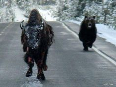 Alex Wypyszinski came upon a dramatic site while driving through Yellowstone National Park in Montana: a grizzly bear chasing a wounded bison. - Alex Wypyszinski Photo