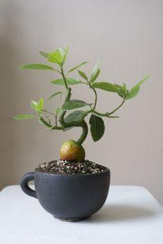 Gardens Discover Can I bonsai an avocado plant? Balkon/Kübel-Pflanzen Can I bonsai an avocado plant? Mini Bonsai, Indoor Bonsai, Bonsai Plants, Bonsai Garden, Garden Plants, Indoor Plants, Bonsai Seeds, Hanging Plants, Hanging Gardens